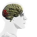 Human Brain, Occipital Lobe by Christian Darkin