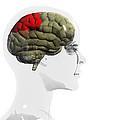 Human Brain, Parietal Lobe by Christian Darkin