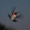 Humming Bird by Jason Loving