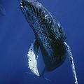 Humpback Whale Singer Maui Hawaii by Flip Nicklin