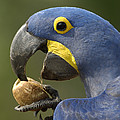 Hyacinth Macaw Anodorhynchus by Pete Oxford