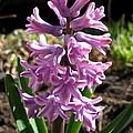 Hyacinth Named Splendid Cornelia by J McCombie
