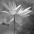 I Love Lotus by Sabrina L Ryan