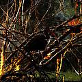 Ibis At Dusk by David Lee Thompson
