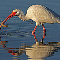 Ibis With Shrimp by Dave Mills
