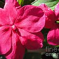 Impatiens Named Dazzler Burgundy by J McCombie