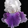 Iris 3 by Michael Peychich