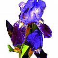 Iris On White by Dale   Ford
