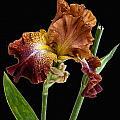 Iris by William Lea