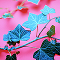 Ivy Leaves by Lawrence Lawry