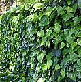 Ivy Wall by Carol Groenen