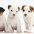 Jack Russell Puppies by Mark Taylor