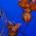Jellyfish Dance by Roger Mullenhour