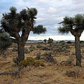 Joshua Trees And Desert Sage by Don Kreuter