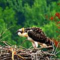 Juvenile Osprey 6493 by J D  Whaley