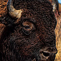Kansas Buffalo by Alan Hutchins