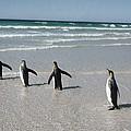 King Penguin Aptenodytes Patagonicus by Tui De Roy