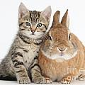 Kitten And Netherland Dwarf-cross Rabbit by Mark Taylor
