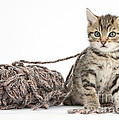 Kitten With Yarn by Mark Taylor