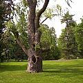 Knurled Tree by Corinne Elizabeth Cowherd