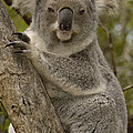 Koala Phascolarctos Cinereus Portrait by Pete Oxford
