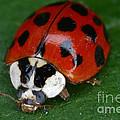 Ladybird Beetle by Ted Kinsman
