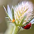 Ladybug On Thistle by Heidi Smith
