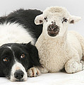 Lamb And Border Collie by Mark Taylor