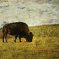 Last Buffalo   by Paul Slebodnick