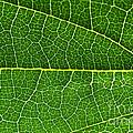 Leaf by Fabrizio Troiani