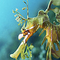 Leafy Sea Dragon by Peter Scoones