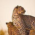 Leopard Panthera Pardus, Arathusa by Stuart Westmorland