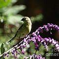 Lesser Goldfinch by Jacklyn Duryea Fraizer