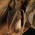 Lesser Long-tongued Fruit Bat by Ch'ien Lee