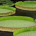 Lily Pads by Paul Slebodnick