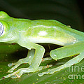 Limon Giant Glass Frog by Dante Fenolio