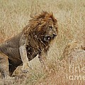 Lion by Alan Clifford