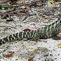 Lizard by Joyce Woodhouse