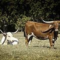 Longhorn Cows Ressting by M K  Miller