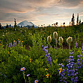 Lupine Sunset by Mike  Dawson