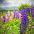 Lupins In Newfoundland Meadow by Elena Elisseeva