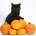 Maine Coon Kitten And Pumpkins by Mark Taylor