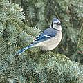 Majestic Blue Jay by Pamela Baker