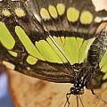 Malachite Butterfly by Perla Copernik