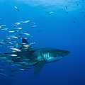 Male Great White Shark And Bait Fish by Todd Winner