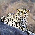 Male Leopard by John Pitcher