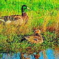 Mallards by John Blanchard