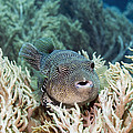 Map Pufferfish by Georgette Douwma