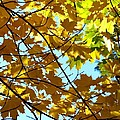 Maple Leaf Canopy by Will Borden