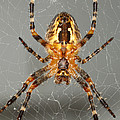 Marbled Orb Weaver Spider by Ted Kinsman